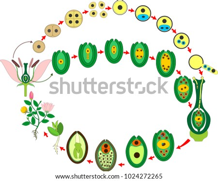 Angiosperm Plant Life Cycle Diagram Life Stock Photo Photo Vector
