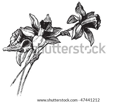 antique narcissi engraving, scalable and editable vector illustration - stock vector