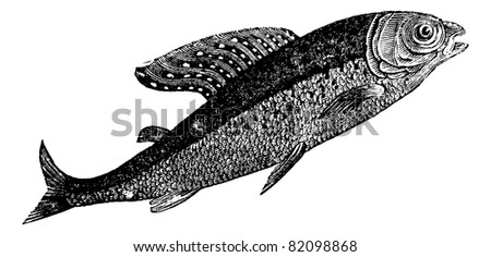 Arctic grayling or Thymallus arcticus, Shadow Spotted or Thymallus means, vintage engraved illustration. Trousset encyclopedia (1886 - 1891). - stock vector