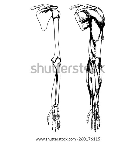 arm bones muscle vector illustration parts stock vector 260176115, Muscles
