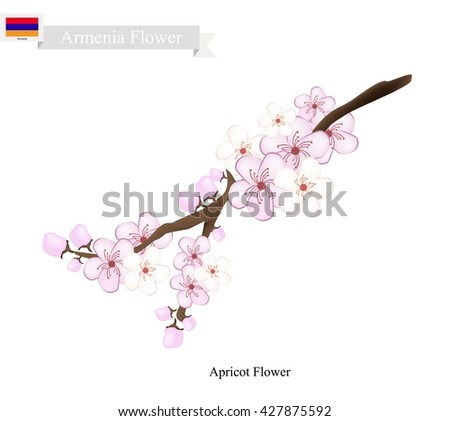Armenia Flower, Illustration of Apricot Flower. One of Most Popular Flower in Armenia.