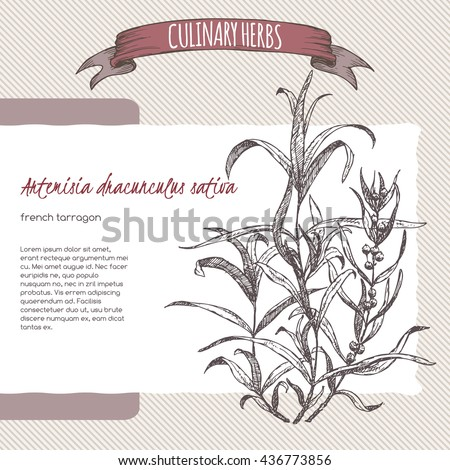 Artemisia dracunculus sativa aka French tarragon vector hand drawn sketch. Culinary herbs collection. Great for cooking, medical, gardening design. - stock vector