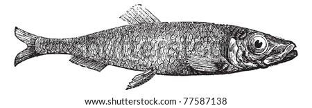 Atlantic herring of Europe (Clupea harengus) vintage engraving. Old engraved illustration of salted Atlantic herring. Trousset Encyclopedia - stock vector