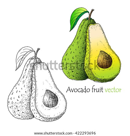 Avocado fruit vector. - stock vector