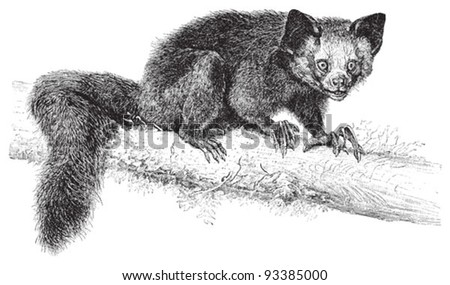 Aye-aye (Daubentonia madagascariensis) / vintage illustration from Meyers Konversations-Lexikon 1897 - stock vector