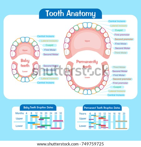 Baby Tooth Chart On Blue Background Stock Vector