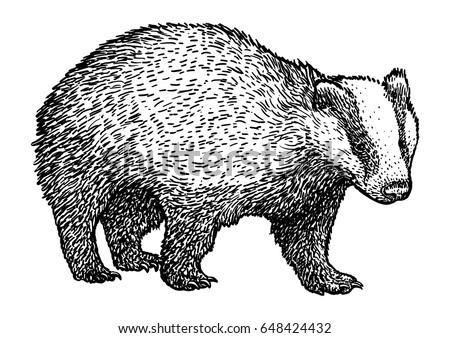 badger drawing engraving ink line art vector