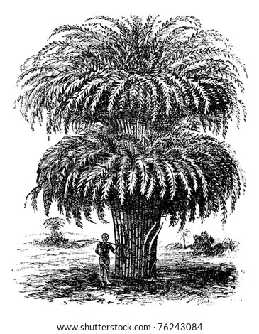 Bamboo or Bambusoideae or Bambuseae, vintage engraving. Old engraved illustration of a Bamboo tree. - stock vector