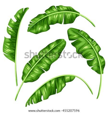 Banana leaves set. Image of decorative tropical foliage. - stock vector