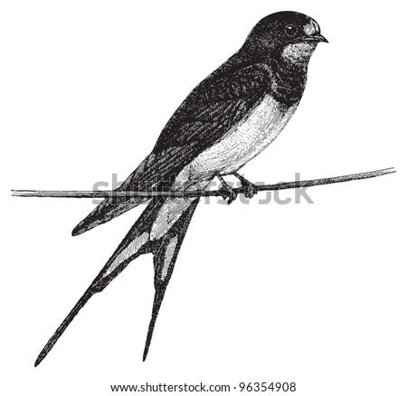 Barn Swallow Hirundo Rustica Vintage Illustration From Meyers Konversations Lexikon 1897