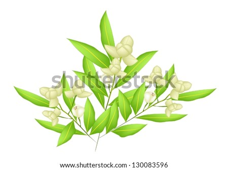 Beautiful Flower, An Illustration White Color of Ylang-Ylang Flowers on Tree Isolated on A White Background