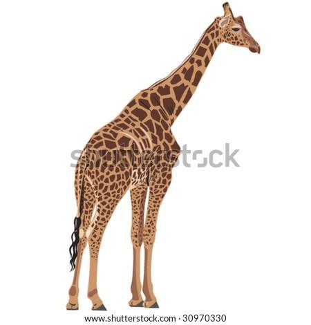 Beautiful giraffe - stock vector