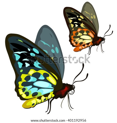 Beautiful male Cairns birdwing butterfly (Ornithoptera euphorion) isolated on a white background. Vector illustration. - stock vector