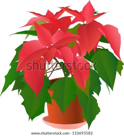 Beautiful red poinsettia plant on white (vector illustration) - stock vector