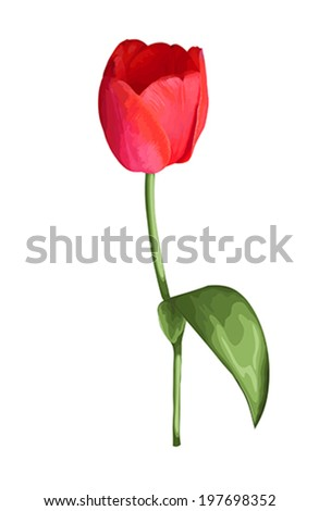 beautiful red tulip with the effect of a watercolor drawing isolated on white background.