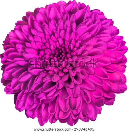 Beautiful round pink chrysanthemum flower top stock vector royalty beautiful round pink chrysanthemum flower top view isolated on white background vector illustration mightylinksfo