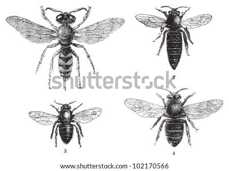 Bee collection - 1. European beewolf  - 2. Queen - 3. Worker - 4. Drone / vintage illustration from Brockhaus Konversations-Lexikon 1908 - stock vector