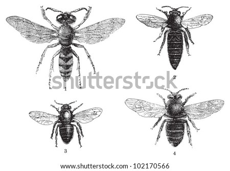 Bee - 1. European beewolf (Philanthus triangulum) - 2. Queen bee - 3. Worker bee - 4. Drone (male honey bee) / vintage illustration from Brockhaus Konversations-Lexikon 1908 - stock vector