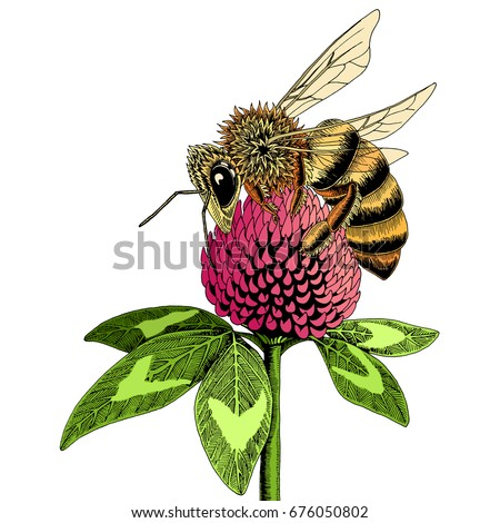 Bee On Clover Flower Sketch Colored Hand Drawn Vector Illustration Of Collecting Nectar From