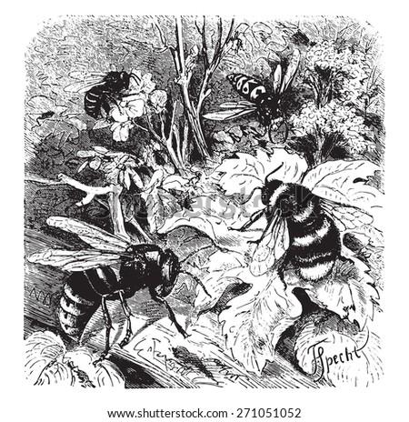 Bee, vespa crabro, wasp, drone, vintage engraved illustration. La Vie dans la nature, 1890.  - stock vector