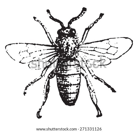 Bee, vintage engraved illustration. Dictionary of words and things - Larive and Fleury - 1895.  - stock vector