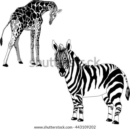 black and white illustration of a giraffe and zebra - stock vector