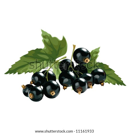 black currant - stock vector
