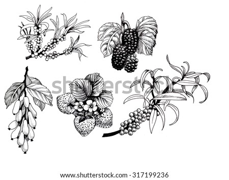 Blackberries, strawberries and dogwood and sea buck-thorn berries, black and white illustration set, vector - stock vector