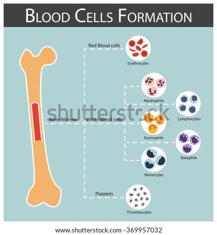 Blood cells Formation ( bone marrow produce blood cells series : erythrocytes , lymphocytes , neutrophils , monocytes , eosinophils , basophils , thrombocytes ) Haematology concept and infographics - stock vector