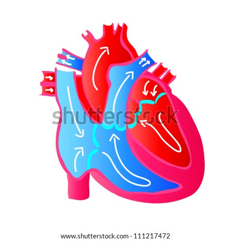 Blood Flow of a Human Heart - stock vector