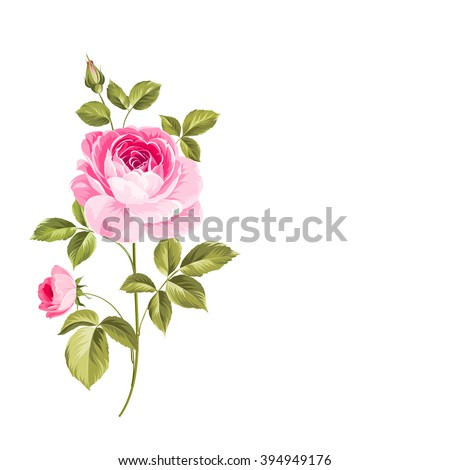 Blooming Rose. Botanical illustration