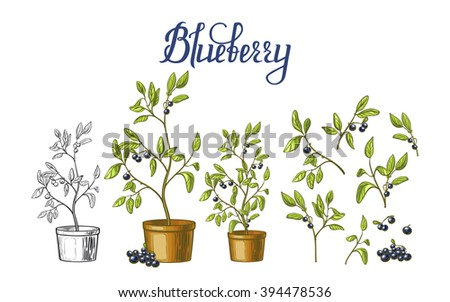 Blueberry set. Blueberry bushes in flower pots, leaves and berries isolated on white background. Perfect for agriculture themes design - stock vector