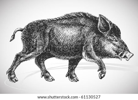 boar realistic drawing - vintage styled vector, isolated on white background - stock vector