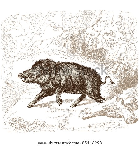 """Boar - vintage engraved illustration - """"Histoire naturelle"""" by Buffon and Lacépède published in 1881 France - stock vector"""