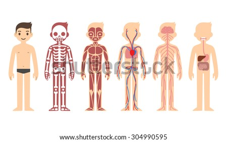 Body anatomy chart skeletal muscular circulatory stock vector body anatomy chart skeletal muscular circulatory nervous and digestive systems flat ccuart Choice Image