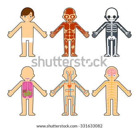 Body anatomy for kids. The skeleton and muscles, nervous system and circulatory system infographics elements  - stock vector