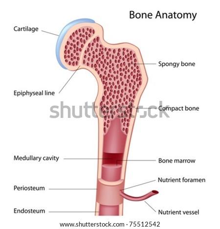 Bone structure details - stock vector