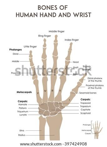 Bones Human Hand Wrist Medically Accurate Stock Vector 397424908