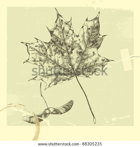 Botanical set: vintage highly detailed hand drawn maple leaf and maple tree seed (helicopter leaf). - stock vector