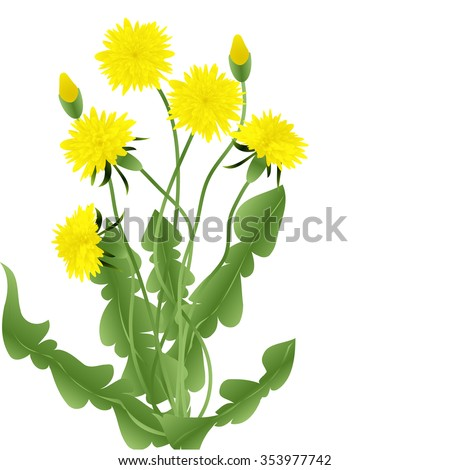 Bouquet of dandelions with leaves isolated on a white background, vector illustration - stock vector