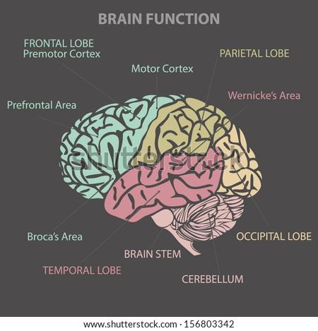 Brain function diagram vector stock vector 156803342 shutterstock brain function diagram vector ccuart Gallery