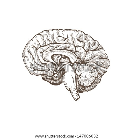 Brain hand drawn isolated on a white. Vector illustration - stock vector