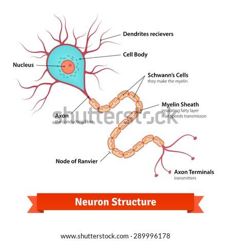 Brain Neuron Cell Diagram Vector Illustration Stock Vector 2018