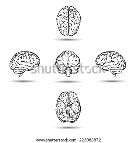 brains from different sides isolated on white - stock vector