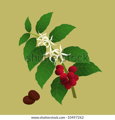 Branch of coffee plant (Coffea arabica) with flowers and berries ready for harvest. - stock vector