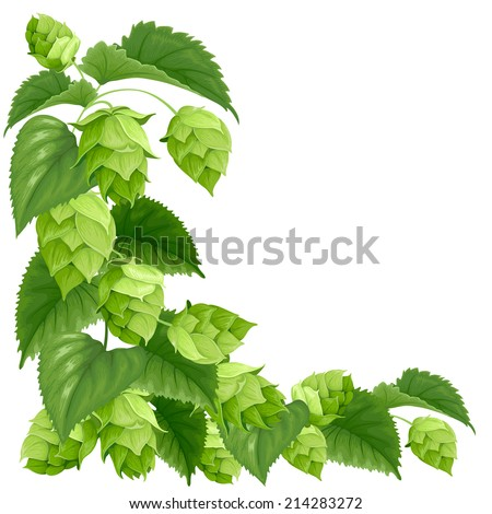Branch of hops isolated on white background - stock vector