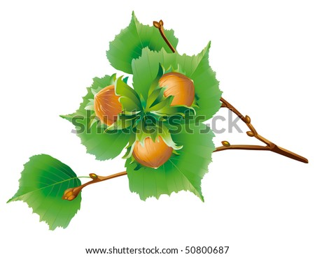 Branch of the nuts - stock vector