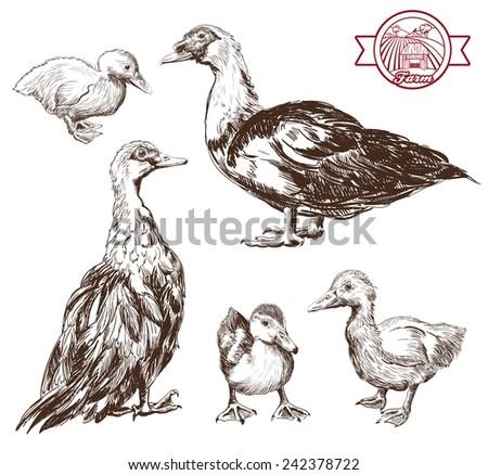 breeding ducks. set of vector sketches. Hand drawn illustrations - stock vector