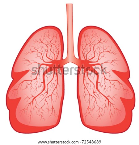 Bronchial system and human lungs isolated on white - stock vector