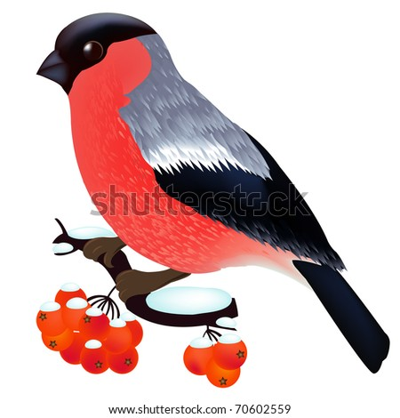 Bullfinch Sitting On the Mountain Ash Branch, Isolated On White Background, Vector Illustration - stock vector